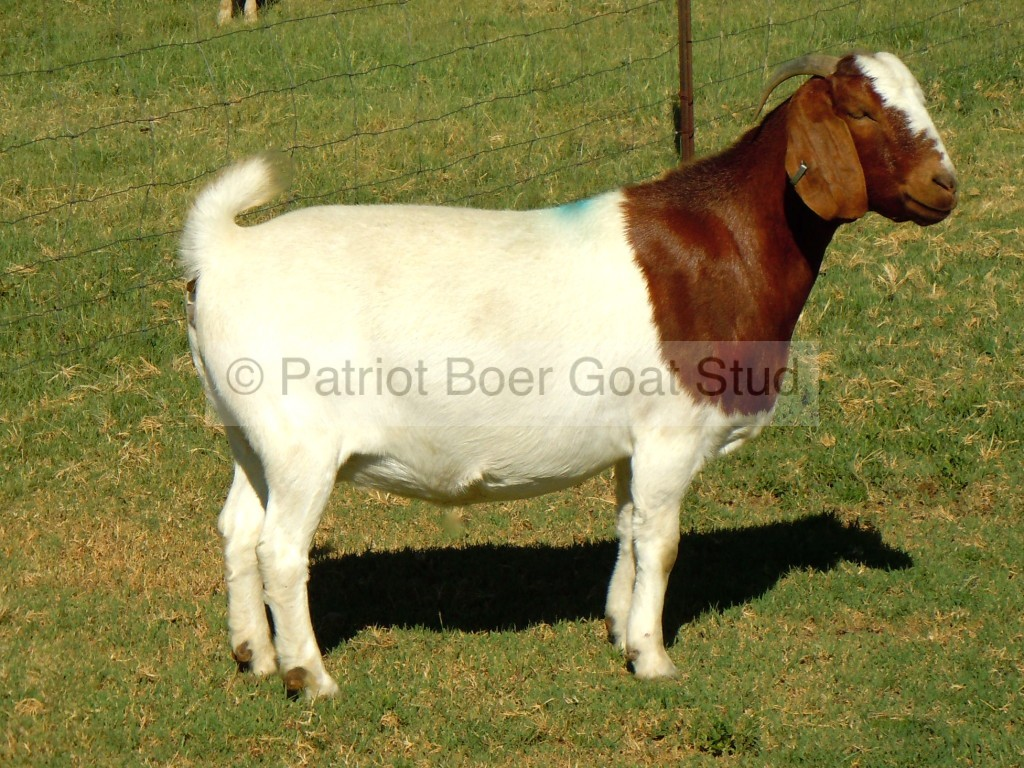 Patriot Boer Goat Stud doe