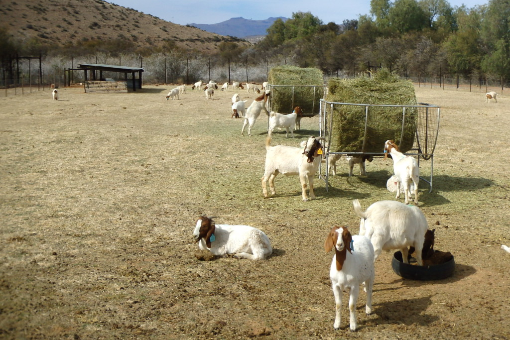 Patriot Boer Goat export