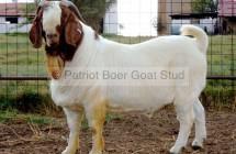 Boer Goat ram DKL0321