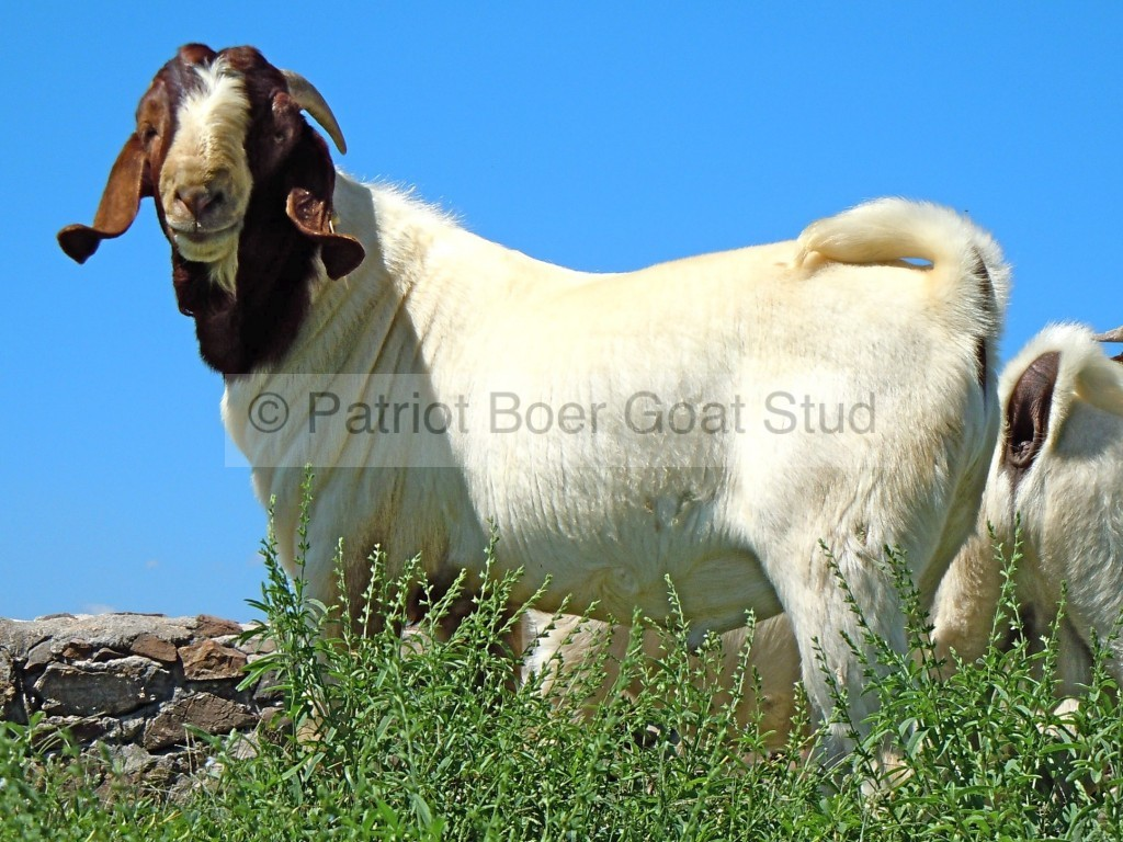Patriot Boer Goat buck