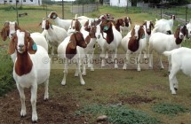 Patriot Boer Goat ewes