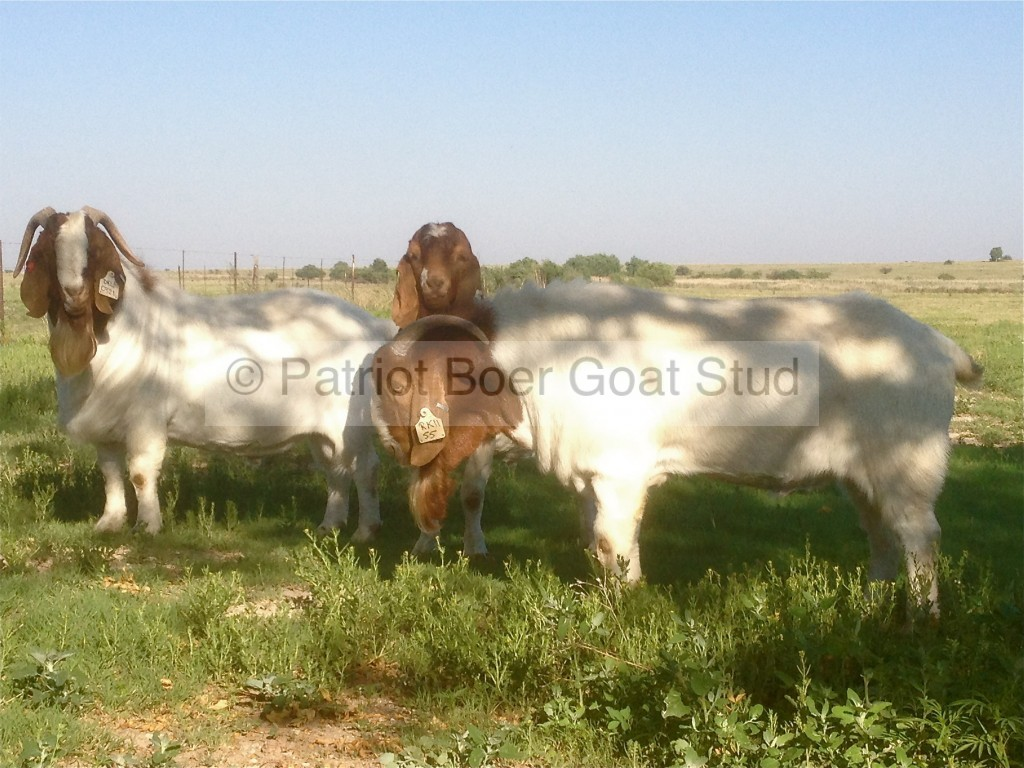 Patriot Boer Goat bucks
