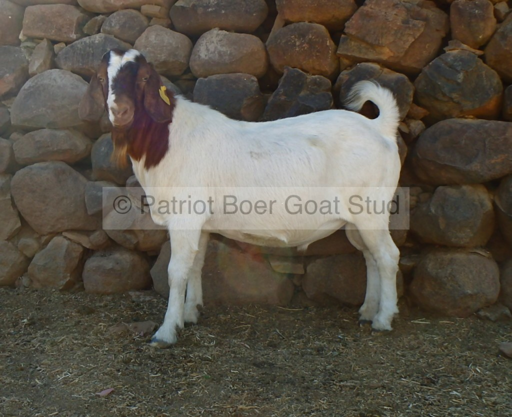 Patriot Boer Goat buck for sale