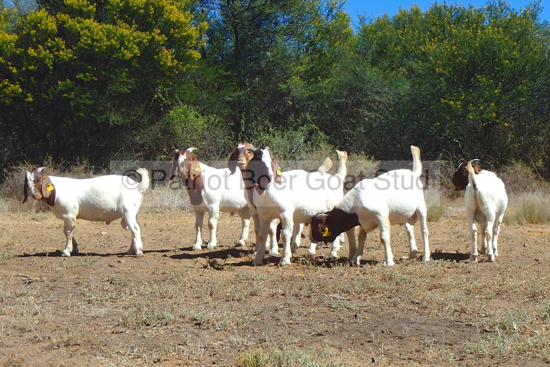 Patriot Bucks for sale | Patriot Boer Goat StudPatriot Boer Goat Stud