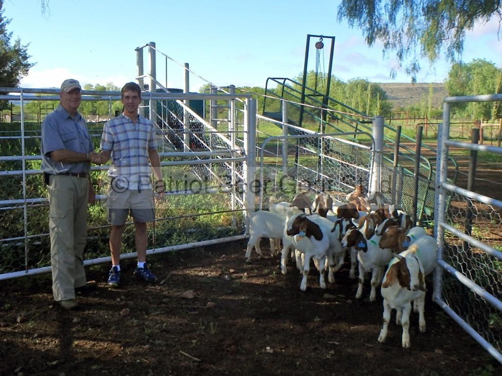 Boer Goat export